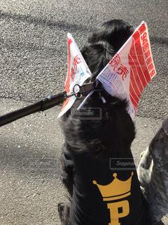 箱根駅伝を応援する犬の写真・画像素材[1670377]