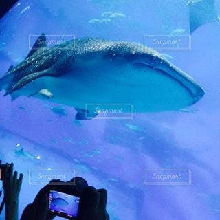 ジンベエザメの写真・画像素材[1061504]
