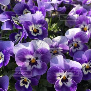 紫のパンジーの写真・画像素材[1060920]