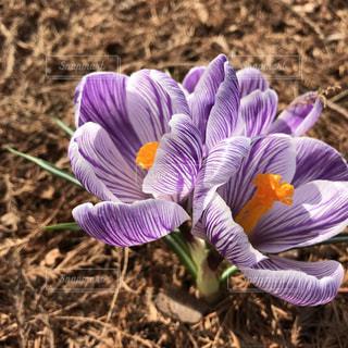 紫色のクロッカスの写真・画像素材[1060964]