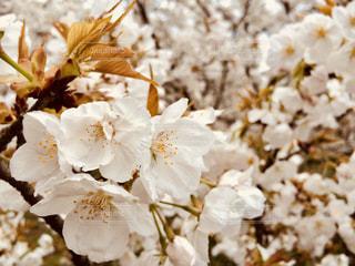 仁和寺の御室桜の写真・画像素材[1077604]