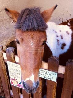 ぱっつんカットの馬の写真・画像素材[1078412]