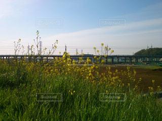 菜の花の写真・画像素材[1061673]