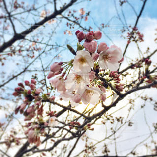 桜の花の写真・画像素材[1062049]