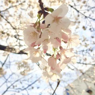 桜の写真・画像素材[1086030]