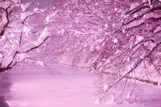 冬に咲くさくらライトアップの写真・画像素材[2981234]