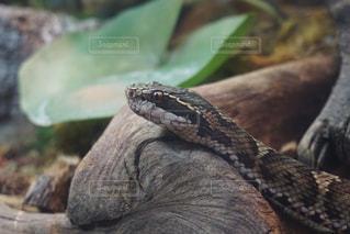 蛇の写真・画像素材[1068491]