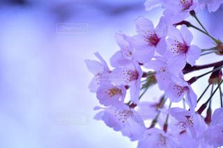 桜の想いの写真・画像素材[1064591]