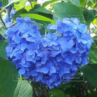 紫陽花の写真・画像素材[1062710]