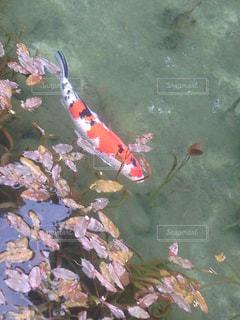モネの池の鯉の写真・画像素材[1062822]