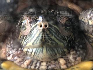 亀のどアップの写真・画像素材[1062089]