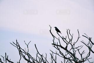 枝に留まるカラスの写真・画像素材[1065467]