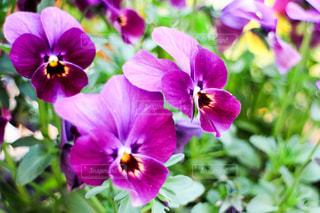 紫の花の写真・画像素材[1063729]