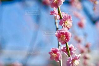 ピンクの梅の花 - No.1074529