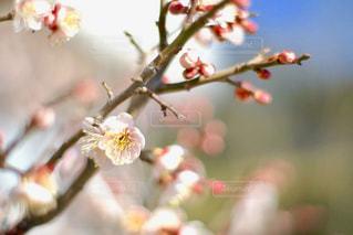 白い梅の花のアップの写真・画像素材[1074531]