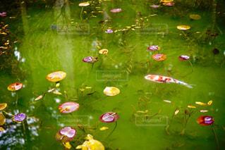 モネの池の写真・画像素材[1829324]