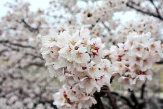満開桜 - No.1064782