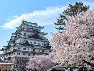 名古屋城満開の桜の写真・画像素材[1063375]