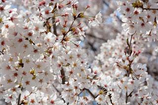サクラの花々の写真・画像素材[1128546]