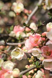 新宿御苑の桃の花の写真・画像素材[1063855]