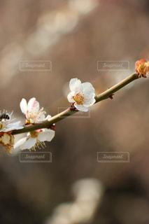 桜の花 - No.1063856
