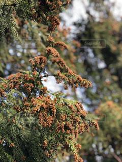 杉花粉の写真・画像素材[1116382]