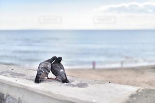 海辺のハト二匹の写真・画像素材[3162011]