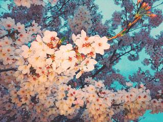 桜の写真・画像素材[1065898]