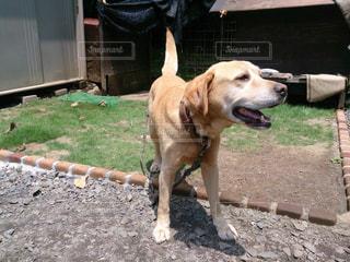 ホーム プレートの横に大きな黒い犬立っての写真・画像素材[1461903]
