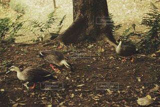 カモの群れの写真・画像素材[1666325]