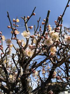 梅の花の写真・画像素材[1067489]