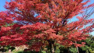 ピンクの花の木の写真・画像素材[1065610]