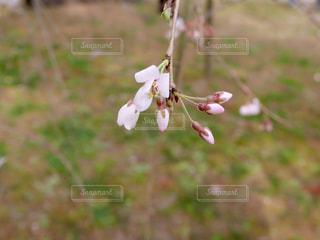 もうすぐ春の写真・画像素材[1065855]
