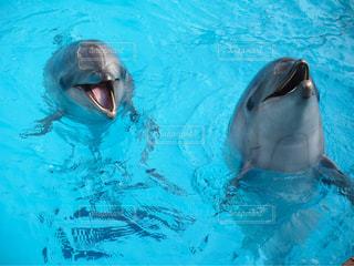 二頭のイルカの写真・画像素材[1066447]