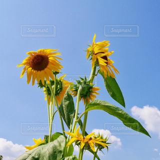 なびく向日葵の写真・画像素材[1174280]