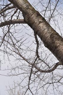 森の大きな木の写真・画像素材[1070045]