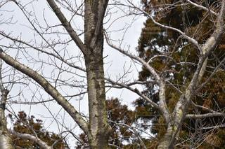 木の枝の写真・画像素材[1070216]