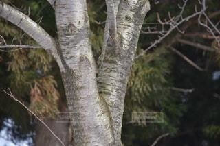 木のアップの写真・画像素材[1070249]
