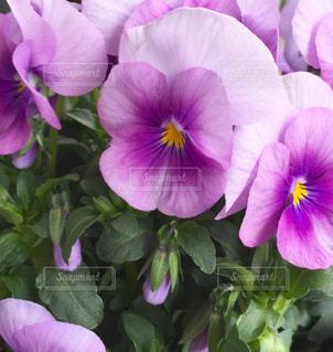 紫のビオラの写真・画像素材[1068459]