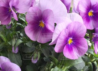 紫のビオラ(横長画像)の写真・画像素材[1068481]
