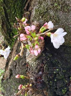 幹に咲く桜の写真・画像素材[1068500]