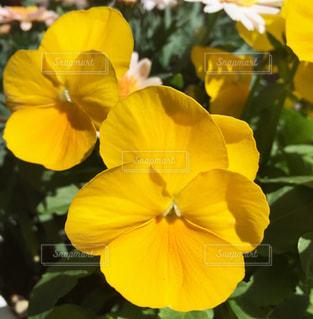 黄色いビオラの写真・画像素材[1089141]