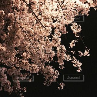夜桜の写真・画像素材[1101131]