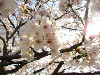 去年の桜。の写真・画像素材[1067345]