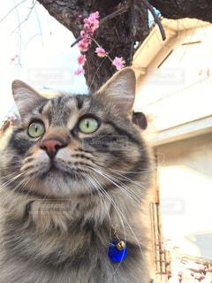 カメラを見ている猫の写真・画像素材[1068186]
