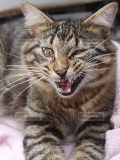 横になって、カメラを見ている猫の写真・画像素材[1092489]