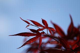 赤い葉の木の写真・画像素材[1116606]