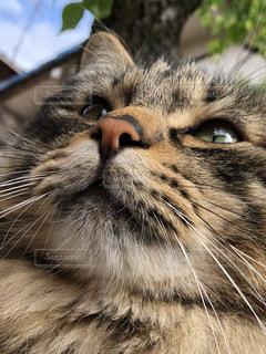 近くにカメラを見て猫のアップの写真・画像素材[1136121]