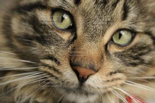 近くにカメラを見て緑の目を持つ猫のアップの写真・画像素材[1265019]