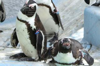 雪の中のペンギンの写真・画像素材[1271884]